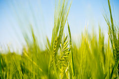 close-up of green spikelets of wheat on the field Royalty Free Stock Photo