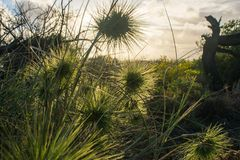 Green spikey plants sunset. Close up of green spikey plants at sunset Royalty Free Stock Photos