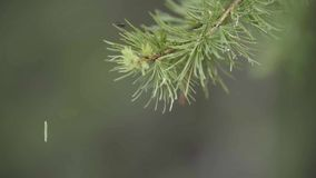 Close up of green spruce branch and a small caterpillar hanging on the web on green blurred background. Stock footage. Close up of green spruce branch and a stock footage