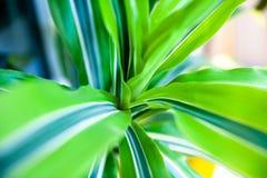 Close up of green striped dracaena Royalty Free Stock Image