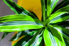 Close up of green striped dracaena Royalty Free Stock Photography