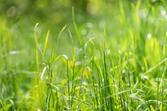 Close-up green summer morning grass meadow with bright sunlight. Close-up green summer morning grass meadow close-up with bright sunlight. Spring or summer stock photo