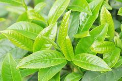 Close up green tea leaves Royalty Free Stock Photo