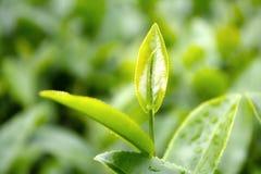 Close up green tea leaves. Stock Photo