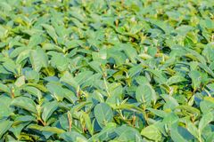 Close up of green tea leaves in field with blur background.Tea f Stock Images