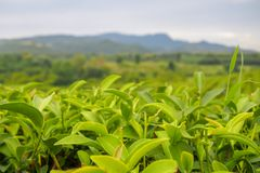 Close up, green tea leaves at the top of the tea tree in a green tea plantation are rows near the mountains for a natural stock images