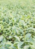 Close up Green tea plantation Stock Images