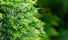 Close-up of green texture christmas leaves of Thuja occidentalis Smaragd, northern white-cedar, or eastern white cedar