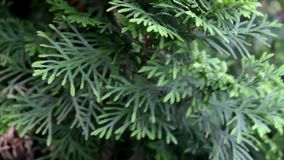 The close up of green thuja is moving in the wind stock video
