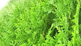 The close up of green thuja orientalis branch moving in the wind stock footage