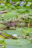Close up of a green toad lurking in a pond Stock Photography