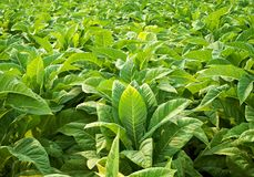 Close up tobacco leaves background royalty free stock image