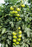 Close up of green tomato bunch in greenhouse Stock Images
