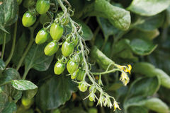 Close up of green tomato bunch in greenhouse Royalty Free Stock Photography