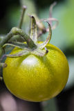 A close-up of a green tomato on a vine Stock Image