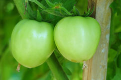 Close-up of green tomatoes on tree in the vegetable garden Stock Photo