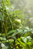 Close-up of green tomatoes Royalty Free Stock Photos