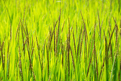 Close up green top paddy rice grains plant on field Royalty Free Stock Image