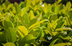 Close up a green tree Royalty Free Stock Photos