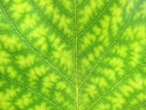 Close-up of a green tree leaf nature Royalty Free Stock Photo