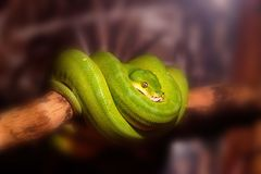 Green tree python or Morelia viridis on branch. Close up green tree python or Morelia viridis wrapped around a tree branch Royalty Free Stock Image