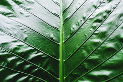 Close-up Green tropical leaf texture pattern background Royalty Free Stock Images