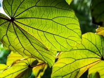 Close up green tropical leaves on the tree royalty free stock images