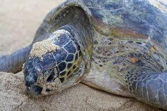 Close-up of a green turtle. Royalty Free Stock Photography