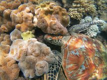 Close up of green turtle among colorful corals royalty free stock photo