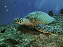 Close up of a green turtle resting on ship wreck royalty free stock image