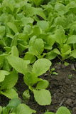 Close up of green vegetables in the field.  Royalty Free Stock Images