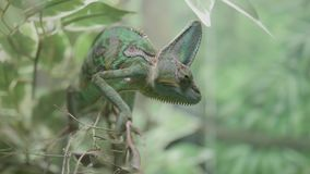 Close up of a green veiled chameleon lizard. Shot in 4k stock video
