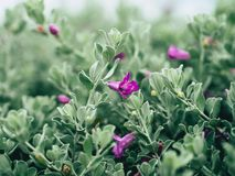 Green velvet bush with small purple flowers. Close up of  green velvet bush with small purple flowers Royalty Free Stock Photo