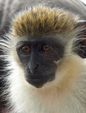 Close-up of green vervet monkey in St. Kitts Stock Images