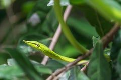 Close-Up Green Viper stock image