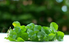 Close up green Water Pennywort plant. Close up the green Water Pennywort plant Royalty Free Stock Images