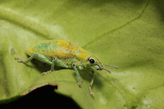 Close up green weevil on leaf Stock Image