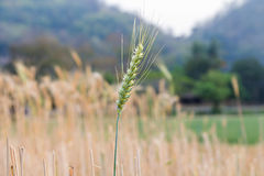 Close-up of green wheat ear Stock Images