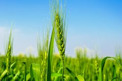 Close up  of green wheat ears. stock photo