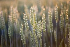 Close up of wheat ear in field. Close up of green wheat ears on stems at sunset in field in early summer Royalty Free Stock Images