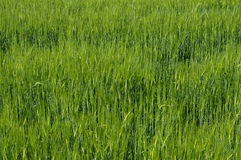 Close up of green wheat field Stock Images