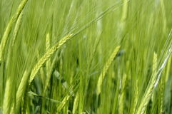 Close up of green wheat field Royalty Free Stock Images
