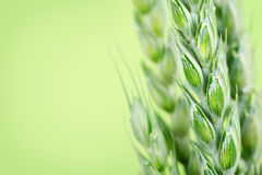 Close up of green wheat Stock Photography