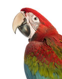 Close-up of a Green-winged Macaw, Ara chloropterus, 1 year old Royalty Free Stock Image