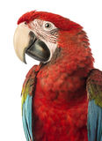 Close-up of a Green-winged Macaw, Ara chloropterus, 1 year old. In front of white background royalty free stock photos