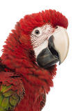 Close-up of a Green-winged Macaw, Ara chloropterus, 1 year old. In front of white background stock photos