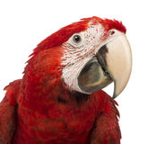 Close-up of a Green-winged Macaw, Ara chloropterus, 1 year old. In front of white background royalty free stock photo