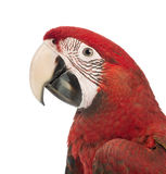 Close-up of a Green-winged Macaw, Ara chloropterus, 1 year old Royalty Free Stock Images