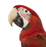 Close-up of a Green-winged Macaw, Ara chloropterus, 1 year old. In front of white background stock images