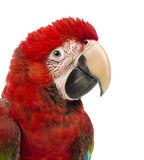 Close-up of a Green-winged Macaw, Ara chloropterus, 1 year old. In front of white background stock photo